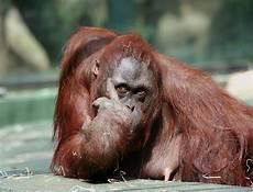Foto Lucu Monyet Gokil Kumpulan Gambar Foto Binatang Hewan