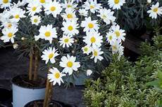margeriten pflege im topf margeriten so pflanzen und pflegen sie die blumen am besten
