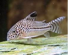 Makanan Ikan Hias Corydoras apa yang anda pikirkan memilih induk untuk pembenihan