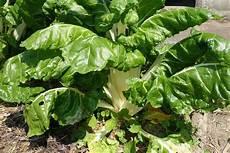 culture des blettes entretien semis septembre la semence bio