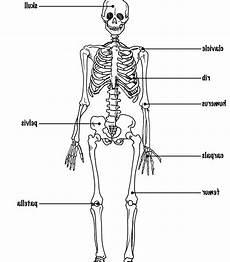 human skeletal system diagram labeled the skeletal system diagram labeled the skeletal system diagram labeled skeletal system
