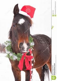 bay arabian with a santa hat stock image