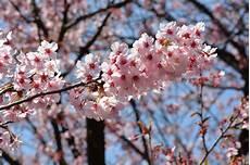 fior di ciliegio il fascino dei candidi colori dei fiori di ciliegio in