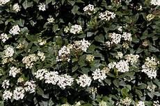 viburnum tinus winterhart viburnum tinus the garden
