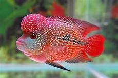 Makanan Ikan Louhan Biar Jenong Mau Tau Nama Nama Hewan