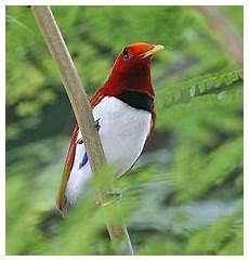 cing paradis king bird of paradise