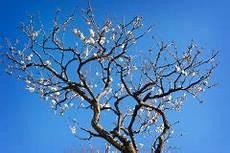 Das Alter Vom Pflaumenbaum 187 So Verj 252 Ngen Sie Ihn