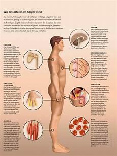 testosteron das untersch 228 tzte hormon spektrum der