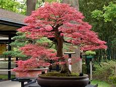 22 Best Trees For Bonsai Best Bonsai Plants Balcony