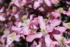 clematis montana schneiden mountain clematis planting pruning and care for