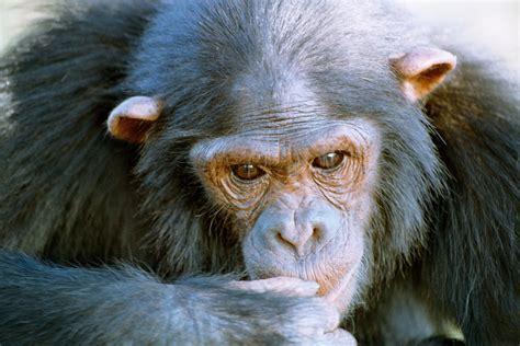 Chimpanzee Ass