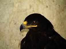 iphone black eagle wallpaper hd black eagle wallpapers backgrounds