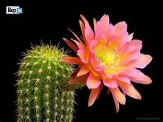 ca fiore meraviglia della natura come sbocciano i fiori cactus