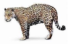 jaguar facts rainforest jaguar facts dk find out