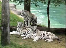 Gambar Harimau Terbaru