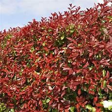 Photinia Fraseri Robin - photinia x fraseri robin robin hedging plant
