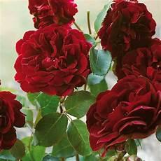 rosier ancien grimpant rosier s 233 n 233 gal roseraie guillot