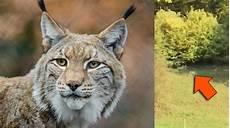 Le Lynx De Retour En Belgique Cette Vid 233 O Tourn 233 E Dans
