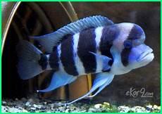 Panduan Lengkap Cara Merawat Ikan Hias Frontosa Siklid