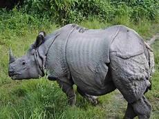 Badak Jawa Rhinoceros Sondaicus Nama Gambar Binatang A Z