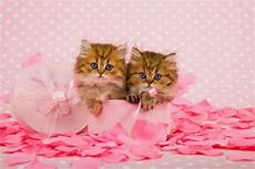 pink kitten wallpaper cat images kittens cats animals background wallpapers on