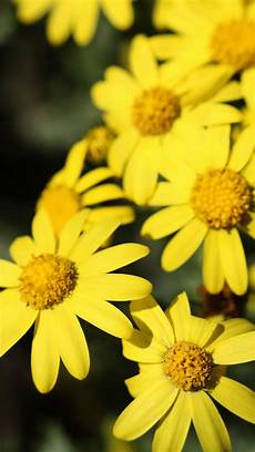 yellow flower wallpaper iphone yellow flower iphone 6s wallpapers hd