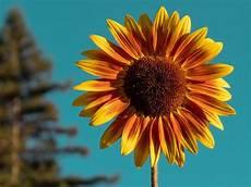 5 Filosofi Bunga Matahari Yang Belum Banyak Diketahui Woop Id