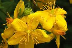 fiori di bach ipertensione fiore agrimony rimedio per dipendenze inquietudine