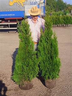 Lebensbaum Smaragd 140 160 Cm Premium Ballenware