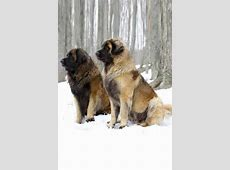 Leonberger   15 free online Puzzle Games on newcastlebeach
