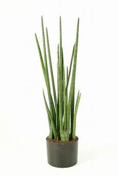 sansevieria cylindrica skyline folhas