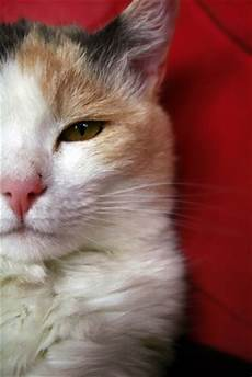 cat hair why do cats lose hair in spots pets