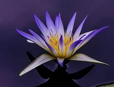 lotus flower photo louis dallara
