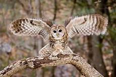 10 Gambar Burung Hantu