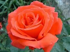 immagini di fiori da stare pianta rosa arancio salmone superstar da taglio fiori