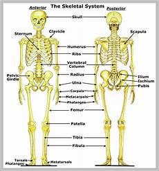 human skeletal system diagram labeled skeleton anatomy system human anatomy diagram and chart images
