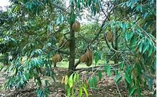 Pokok Durian Musang King Malaysia Plant Nursery