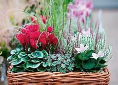 composizioni fiori autunnali i ciclamini sono protagonisti di questa composizione