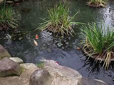 koi karpfen japans tierwelt die japanreise