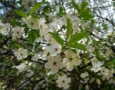 fiori di bach menopausa fiori di bach in menopausa cherry plum menopausa