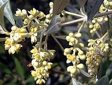 fiori di ulivo hortus italicus olea europaea ssp l 1753