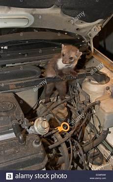 beech marten marten car burglar car thief