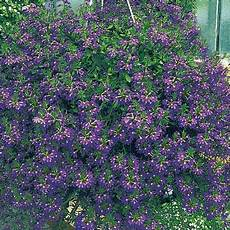 elpflanzen und hängepflanzen garten f 228 cherblume saphira s h 228 ngepflanzen blumen