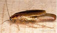 german cockroach blattella germanica linnaeus