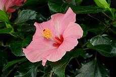 zimmer hibiskus hibiscus rosa sinensis