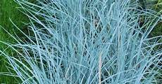 blue wheat grass is the ideal subject for a dry warm area