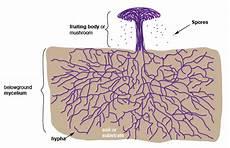 diagram of fungus diagram of fungus fungi