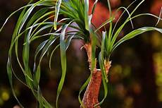 palme umtopfen wurzeln abschneiden elefantenfu 223 experten tipps zum kaufen pflegen