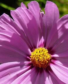 blume lila lila blume foto bild pflanzen pilze flechten