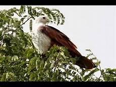 Berburu Menangkap Burung Di Atas Pohon Dengan Getah Dan